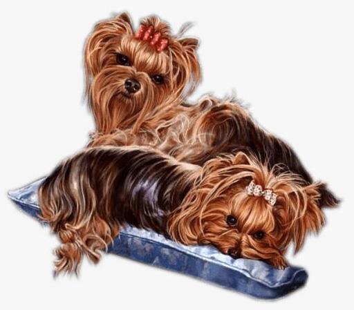 Female | Fort Worth, TX Yorkies Puppy Sale, Yorkshire